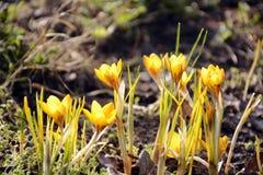 Açafrão amarelo que floresce na primavera luz do sol Fotografia de Stock Royalty Free