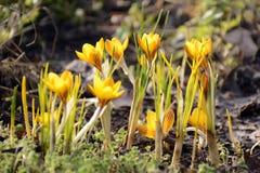 Açafrão amarelo que floresce na primavera luz do sol Imagem de Stock Royalty Free