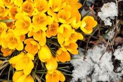 Açafrão amarelo sativus entre cristais de gelo, configuração lisa, sp do conceito Fotos de Stock Royalty Free
