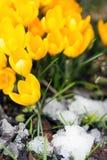 Açafrão amarelo sativus entre cristais de gelo, mola do conceito Fotos de Stock