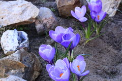 Açafrão azul Fotografia de Stock Royalty Free