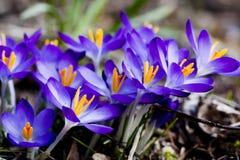 Açafrão azul Imagem de Stock Royalty Free