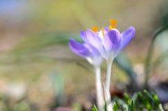 Açafrão azul Imagem de Stock