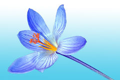 Açafrão azul da mola Fotografia de Stock Royalty Free