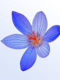 Açafrão azul da mola Imagens de Stock Royalty Free
