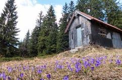Açafrão azul na floresta Fotografia de Stock