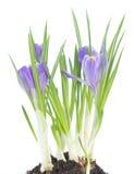 Açafrão azul no fundo branco Fotos de Stock Royalty Free
