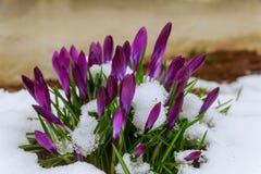 Açafrão azul que floresce da neve Fotografia de Stock Royalty Free