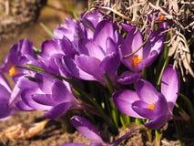 Açafrão bonito, conceito da primavera Imagens de Stock