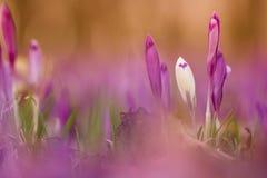 Açafrão bonito da flor da mola que cresce selvagem Beleza surpreendente de w Imagem de Stock Royalty Free