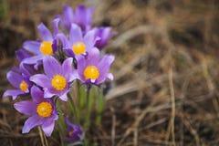 Açafrão bonito da flor fora Imagens de Stock Royalty Free