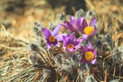 Açafrão bonito da flor fora Imagem de Stock Royalty Free