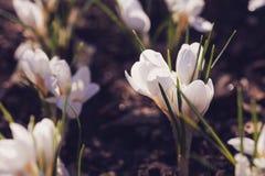 Açafrão bonito do branco da mola Imagens de Stock Royalty Free