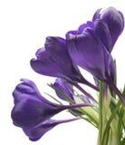Açafrão bonito no fundo branco - a mola fresca floresce O açafrão violeta floresce o ramalhete Foco seletivo Imagens de Stock Royalty Free