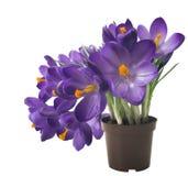Açafrão bonito no fundo branco - a mola fresca floresce O açafrão violeta floresce o ramalhete Foco seletivo Fotos de Stock Royalty Free