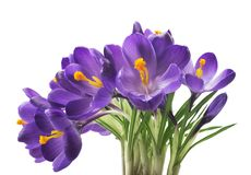 Açafrão bonito no fundo branco - a mola fresca floresce O açafrão violeta floresce o ramalhete Foco seletivo Foto de Stock