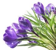 Açafrão bonito no fundo branco - a mola fresca floresce O açafrão violeta floresce o ramalhete Foco seletivo Fotos de Stock