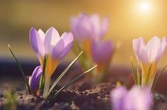Açafrão bonito que floresce no jardim na mola Imagens de Stock