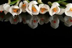 Açafrão branco Fotografia de Stock Royalty Free
