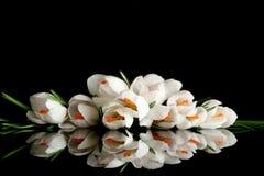 Açafrão branco Imagem de Stock