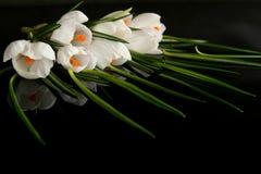 Açafrão branco Fotos de Stock