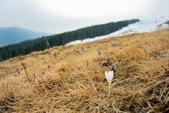 Açafrão branco Fotografia de Stock
