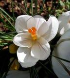 Açafrão branco aberto no jardim Fotografia de Stock Royalty Free