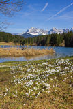 Açafrão branco adiantado da mola no geroldsee do lago, montanha do karwendel Foto de Stock Royalty Free
