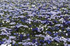 Açafrão branco azul Fotografia de Stock