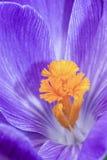 Açafrão branco azul Imagens de Stock