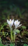 Açafrão branco bonito Foto de Stock Royalty Free
