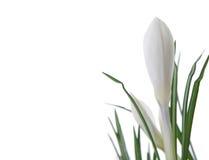 Açafrão branco bonito Fotos de Stock