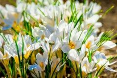 Açafrão branco bonito iluminado pela luz solar Imagens de Stock Royalty Free