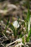 Açafrão branco bonito no jardim Flores frescas da mola Imagens de Stock