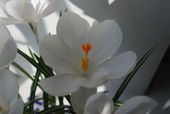 Açafrão branco com listras violetas Imagem de Stock Royalty Free