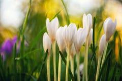 Açafrão branco de florescência Fotos de Stock Royalty Free