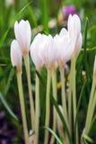 Açafrão branco de florescência Fotografia de Stock