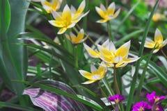 Açafrão branco e amarelo brilhante em um canteiro de flores verde Foto de Stock Royalty Free