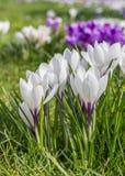 Açafrão branco e roxo Imagem de Stock