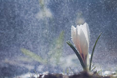 Açafrão branco em gotas do fundo Fotos de Stock