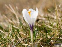Açafrão branco Flor bonita no início do verão Imagens de Stock Royalty Free