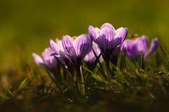 Açafrão branco - flor da mola Imagem de Stock