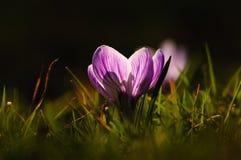 Açafrão branco - flor da mola Imagem de Stock Royalty Free