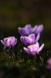 Açafrão branco - flor da mola Imagens de Stock
