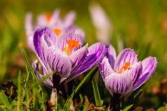 Açafrão branco - flor da mola Fotografia de Stock Royalty Free