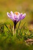Açafrão branco - flor da mola Fotos de Stock Royalty Free