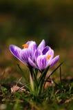 Açafrão branco - flor da mola Imagens de Stock Royalty Free
