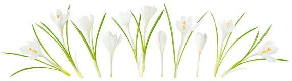 Açafrão branco isolado Imagens de Stock Royalty Free