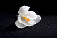 Açafrão branco isolado no preto Foto de Stock Royalty Free