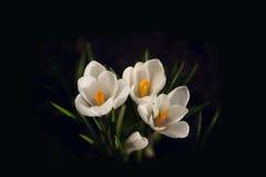 Açafrão branco - a mola floresce no fundo preto Imagens de Stock